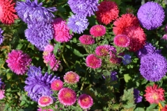 asters-1011395_960_720