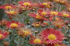 asters-1638987_960_720