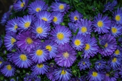 asters-1687533_960_720