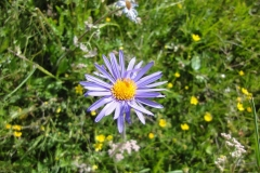 blue-aster-1207468_960_720