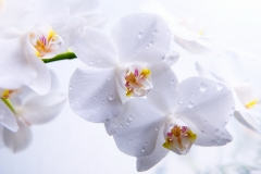 Prekrasnye-cvety-orhidei1