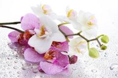 orhidei1773