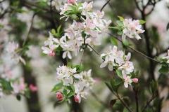 cherry-blossom-835446_960_720
