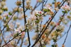 cherry-blossom-835452_960_720