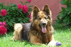 dog-115892_960_720
