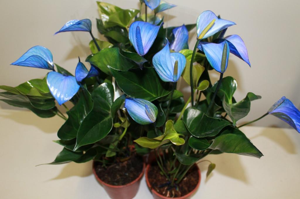 Антуриум: уход и выращивание в домашних условиях,фото