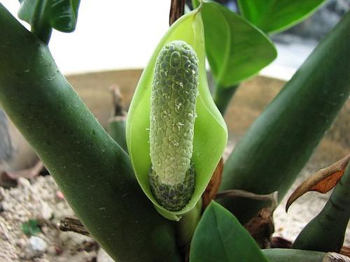 Замиокулькас выращивание уход описание фото видео полив размножение