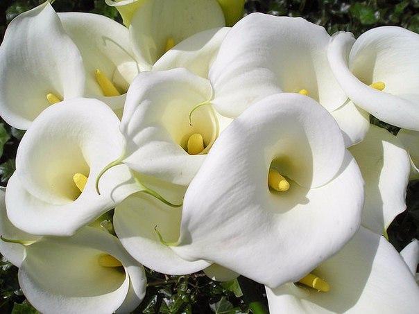 Чем подкормить каллы для обильного цветения