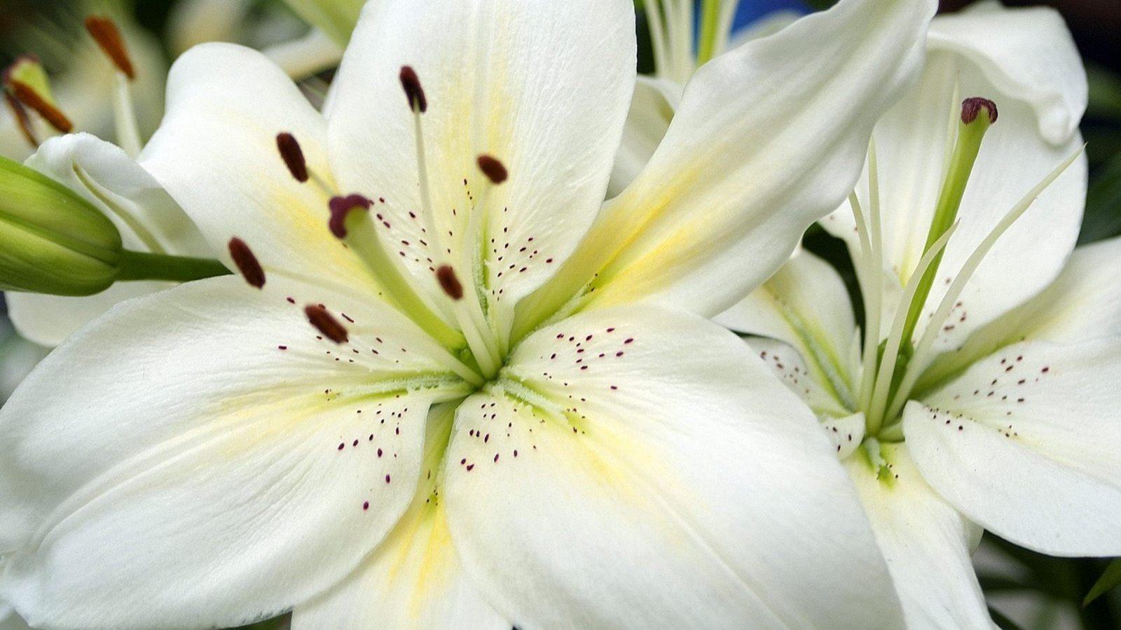 Фото картинки цветы лилии