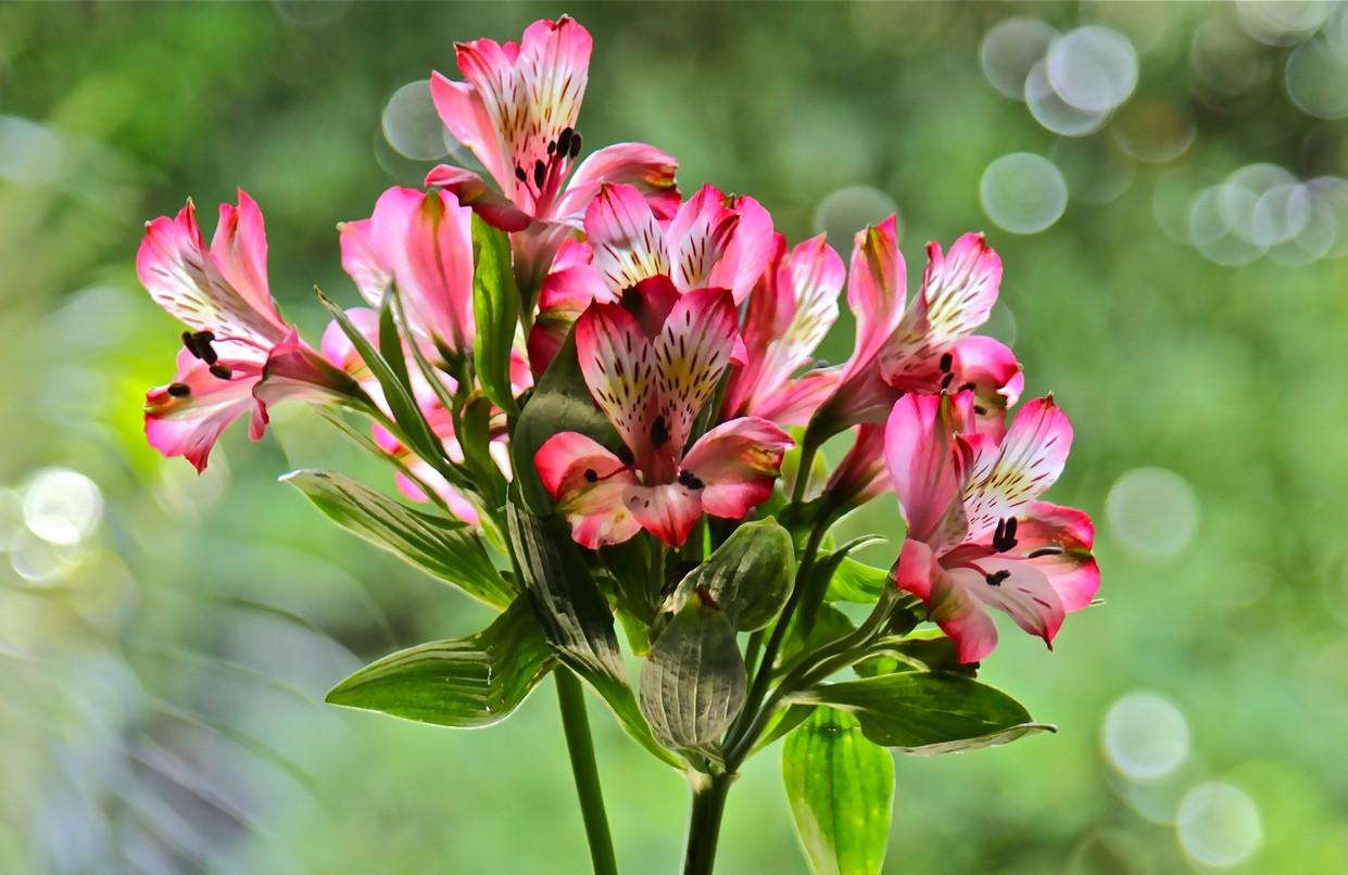 Альстромерия: выращивание и уход в открытом грунте