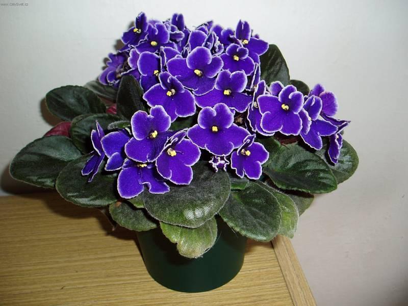 Фото цветка фиалка