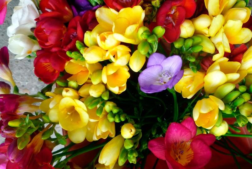 Фото фрезии виды и сорта советы по уходу за цветком