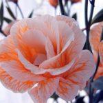 Лизиантус: выращивание и уход в открытом грунте,фото,видео,виды.