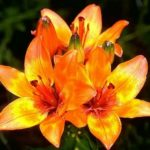 Лилия: выращивание и уход в открытом грунте,фото,видео.