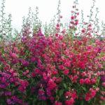 Кларкия: содержание и выращивание в открытом грунте,фото,видео.