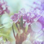 Цикламен — 45 фото в HD качестве