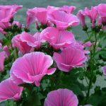 Лаватера: содержание,описание,фото,видео,размножение,полив,виды