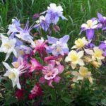 Аквилегия — универсальное растение которое имеет до 120 различных видов