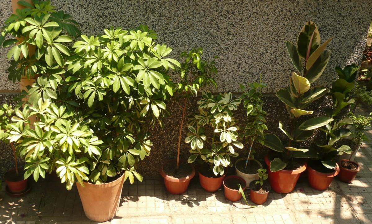 Шефлер растение описание размножение выращивание фото видео