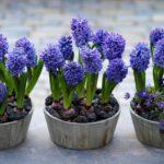 Гиацинт выращивание в домашних и садовых условиях фото видео виды