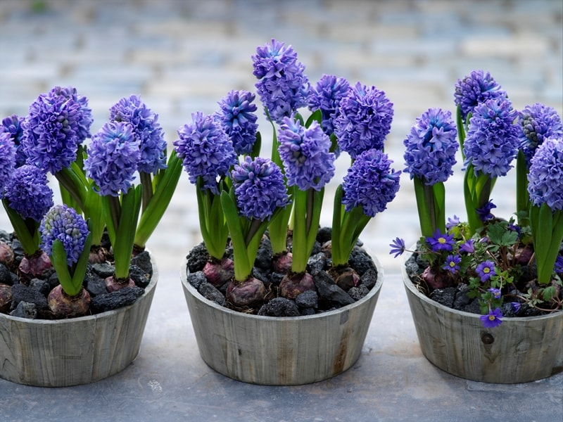 Гиацинт: выращивание в домашних условиях,фото,видео,виды