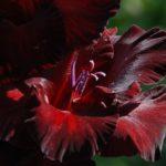 Гладиолусы — когда выкапывать и как хранить?