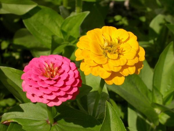Цинния: посадка и размножение, выращивание и уход описание фото видео