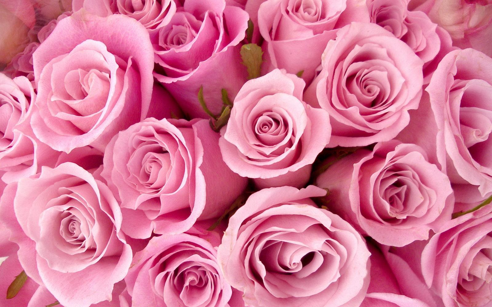 Как укрыть и сохранить розы в зиму?