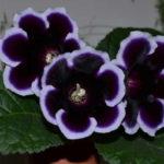 Глоксиния описание выращивание уход размножение фото видео.