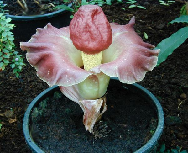 Аморфофаллус описание виды сорта размножение выращивание фото видео