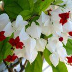 Клеродендрум описание выращивание уход размножение фото видео