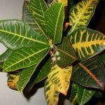Кротон описание виды и сорта размножение фото видео выращивание.