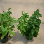 Выращивание стевии в домашних условиях из семян — фото видео