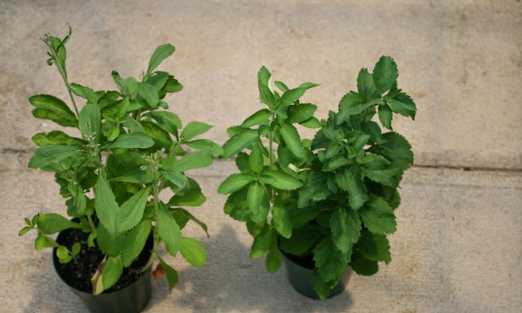 как выращивать стевию в домашних условиях