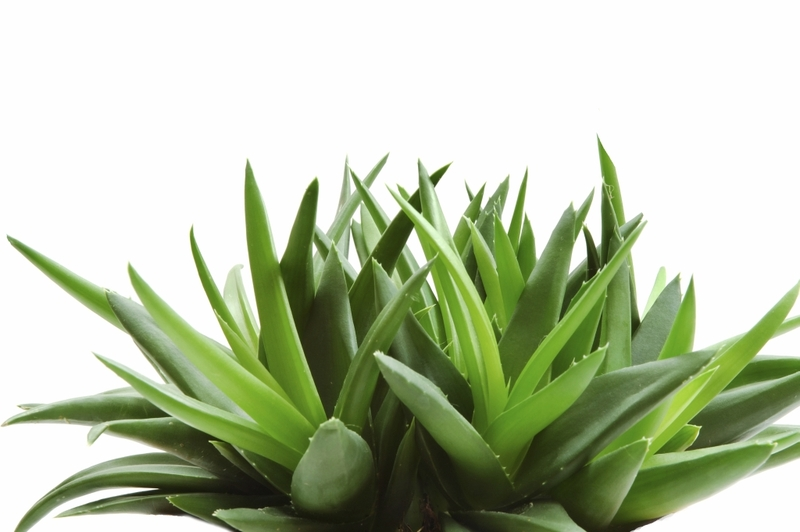 Алоэ Вера: описание, лечебные свойства, рецепты применения сока, листья алоэ