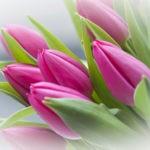 Тюльпаны описание,размножение,виды,уход,фото,видео,удобрение,полив.