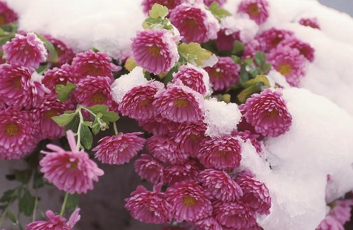 Как подготовить хризантемы к зиме?