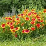 Гайлардия: описание,выращивание в открытом грунте,фото,видео,виды