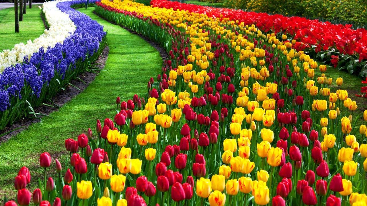 тюльпаны фото honeymoon