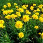 Кореопсис описание,выращивание в открытом грунте,фото,видео,виды.