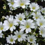 Ясколка: описание,посадка,уход,выращивание,разведение,фото,видео,виды и сорта