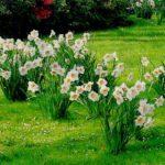 Нарцисс описание,виды,размножение,уход,посадка,выращивание,фото,видео.
