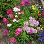 Гвоздика: описание,размножение,уход,полезные и лечебные свойства,фото