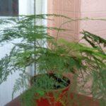 Аспарагус перистый:выращивание и уход в домашних условиях ,фото,видео.