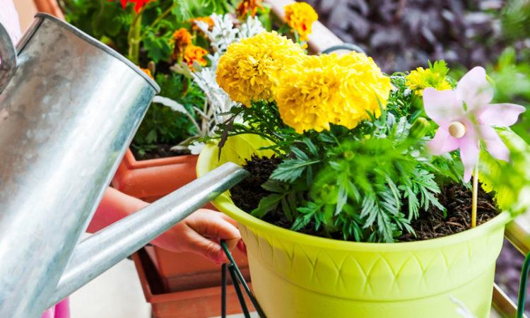 Когда поливать комнатные цветы вечером или утром