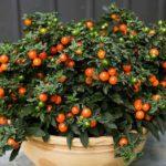 Комнатные растения с ядовитами ягодами.