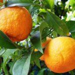 Бигарадия (померанец, горький апельсин):описание,уход,содержание,полезные свойства,фото.