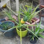 Как правильно посадить и вырастить ананас?