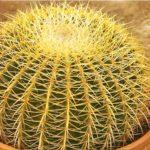 Эхинокактус – echinocactus: уход,содержание,размножение,описание,фото,видео,виды.
