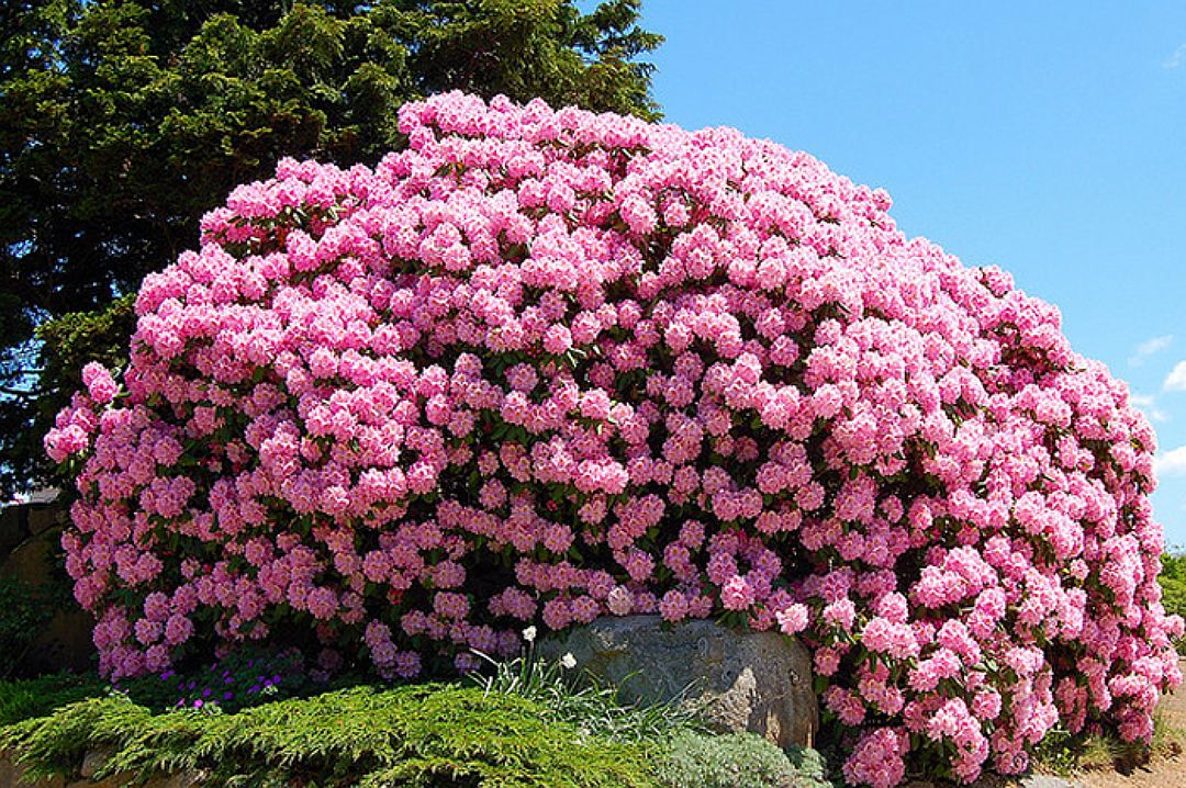 an analysis of roses rhododendron by alice adams